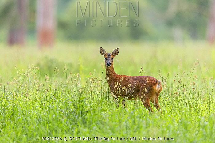 Roe deer, (Capreolus capreolus) doe in grass meadow, Scotland, UK, July.