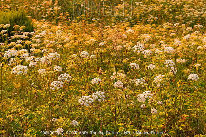 Cow parsley, (Anthriscus sylvestris), growing in unimproved meadow habitat, Scotland, UK, July.