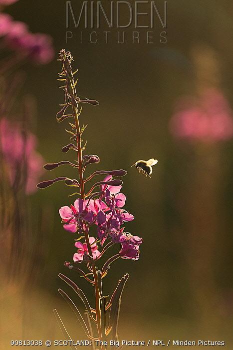 Bumblebee (Bombus) backlit in flight approaching flower, Scotland, UK, August.