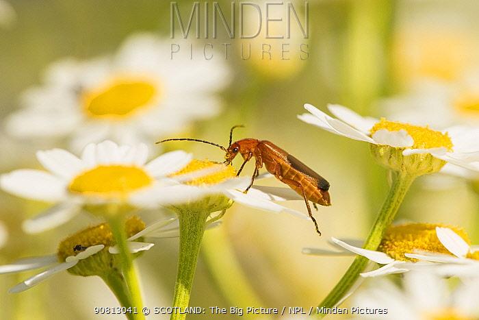 Beetle, (Rhagonycha fulva), feeding on oxeye daisy flower, Scotland, UK, July.