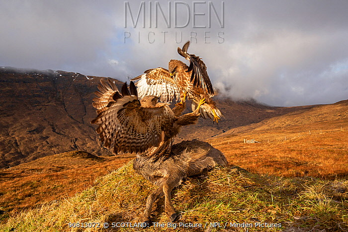 Common buzzard, (Buteo buteo), scavenging deer carcass, Isle of Skye, Scotland, UK.January