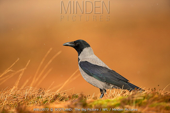Hooded crow, (Corvus corone cornix), on ground, Scotland, UK, January.January
