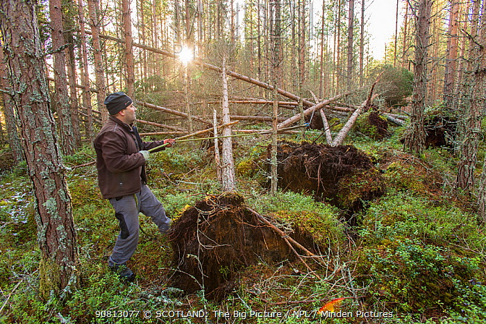 Restructuring pine plantation by winching over trees to expose roots and create fallen deadwood, Abernethy Forest, Cairngorms NP, Scotland, UK.February