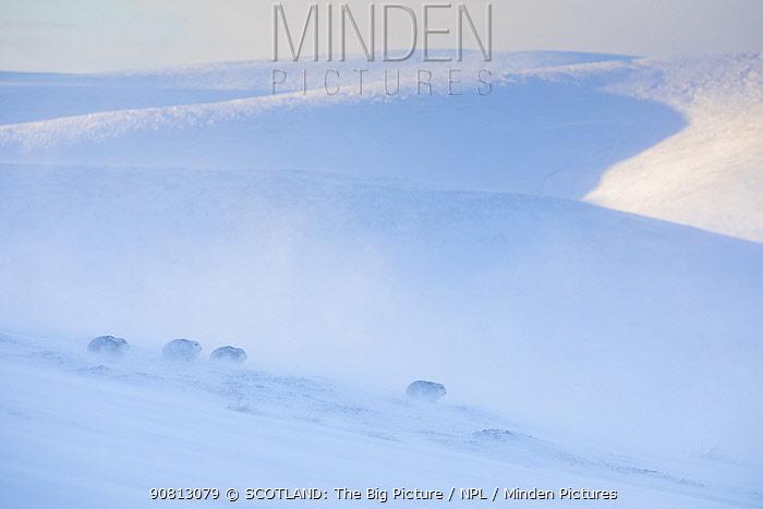 Mountain hare, (Lepus timidus), four animals on snowy hillside in winter, Scotland, UK.January
