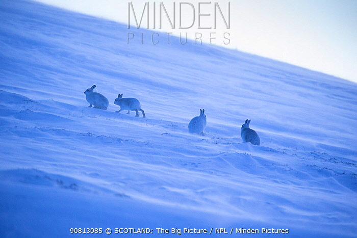 Mountain hare, (Lepus timidus), four animals on snowy hillside in winter, Scotland, UK, February.