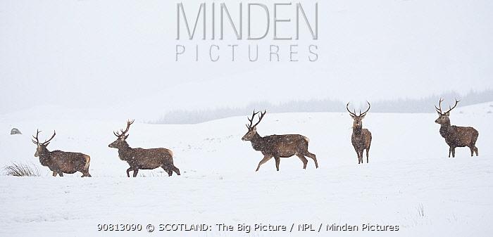 Red deer, (Cervus elaphus), stags in snow on moorland, Scotland, UK.February