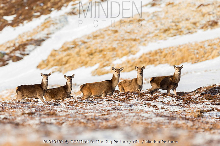 Red deer, (Cervus elaphus), group of hinds on moor in winter, Scotland, UK.February