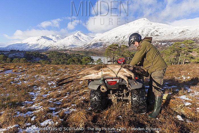 Stalker with Red deer (Cervus elaphus) carcass on quad bike, Glen Affric, Scotland, UK, February.