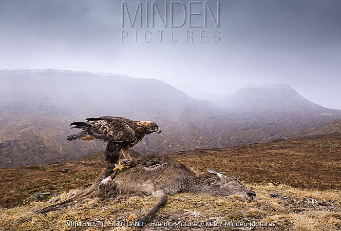 Golden eagle, (Chrysaetos aquila) , adult feeding on Red deer (Cervus elaphas) carcass, Isle of Skye, Scotland, UK.March