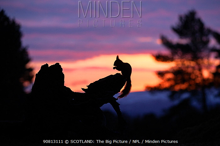 Red squirrel, (Sciurus vulgaris), silhouetted on stump at dawn, Scotland, UK.March