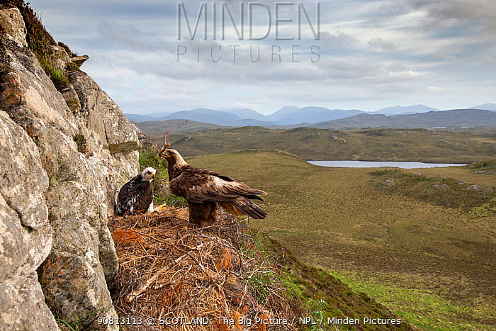 Golen eagle (Aquila chrysaetos) adult with nest material on eyrie with chick showing background, Isle of Lewis, Scotland, UK., May.