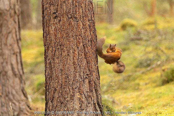 Red squirrel (Sciurus vulgaris), two animals fighting, while falling, Scotland, UK, August.