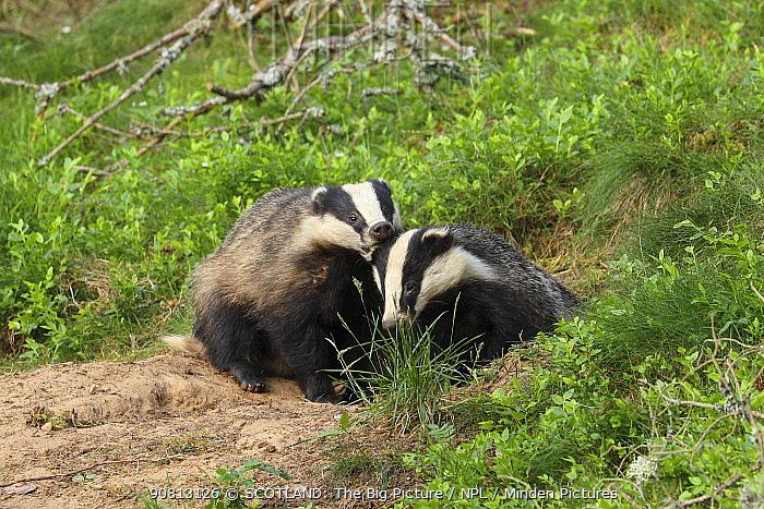 Badger (Meles meles), cub pulling the ear of sibling, June, Scotland, UK., August.