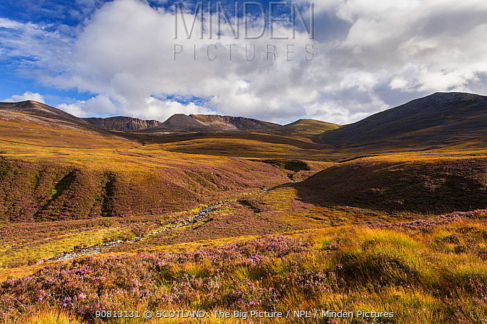 Heather moorland in the foothills of the Cairngorm mountains , Scotland, UK.August
