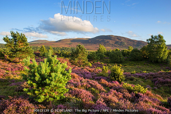 Flowering heather moor and scattered pine and birch, Tulloch Moor, Cairngorms National Park, Scotland, UK.August
