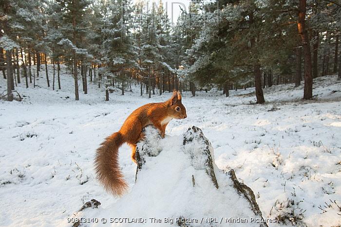 Red squirrel, (Sciurus vulgaris), wide view in winter forest, Scotland, UK.December
