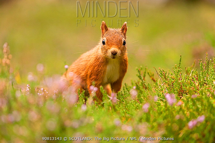 Red squirrel (Sciurus vulgaris), summer coat, close-up looking at camera, amongst flowering heather, Scotland, UK.August