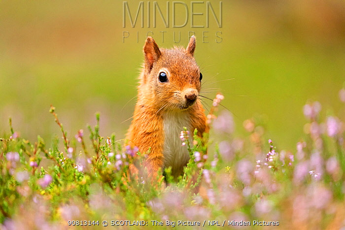 Red squirrel (Sciurus vulgaris), summer coat, close-up amongst flowering heather, Scotland, UK.August