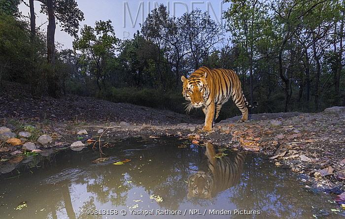 Tiger (Panthera tigris tigris) dominant male tiger approaching 'Beja pani' waterhole, Kanha National Park, Central India. Camera trap image.