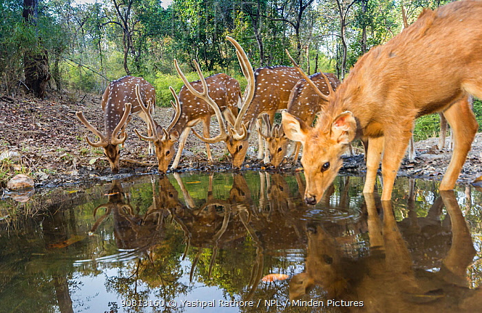 Spotted Deer / Chital deer (Axis axis) with Sambar deer (Rusa unicolor) drinking water at waterhole Kanha National Park, Central India. Camera trap image.