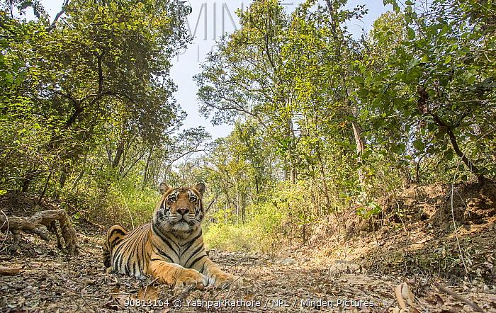 Bengal tiger (Panthera tigris tigris) sub-adult male tiger resting in hot weather. Kanha National Park, Central India. Camera trap image.