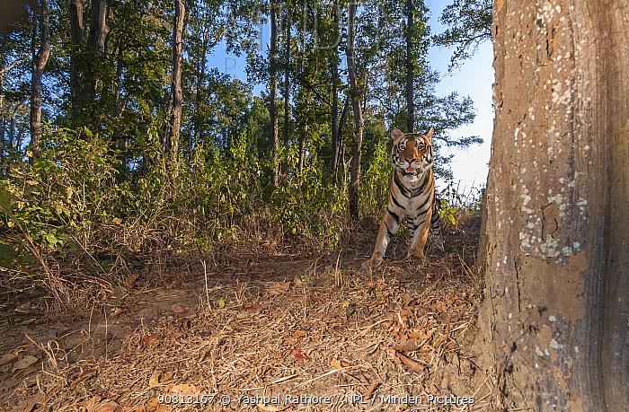Bengal tiger (Panthera tigris tigris) male tiger walking along forest trail, Kanha National Park, Central India. Camera trap image.