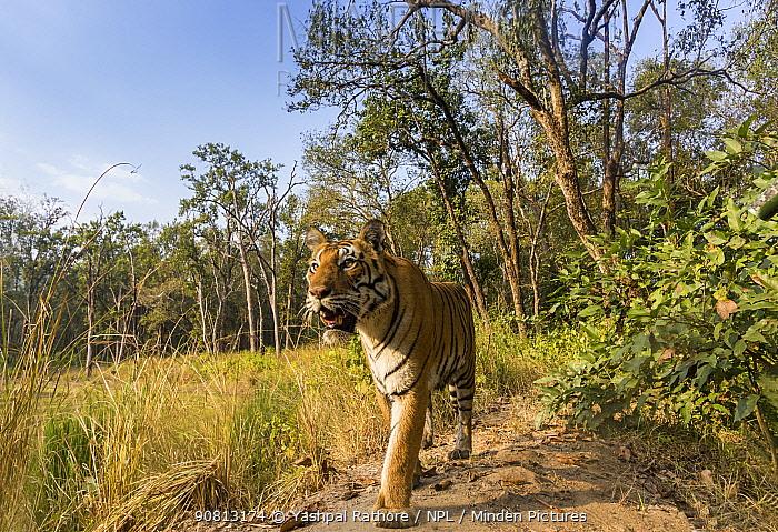 Bengal tiger (Panthera tigris tigris) (T27) walking on bund / dam wall trail. Kanha National Park, Central India. Camera trap image.
