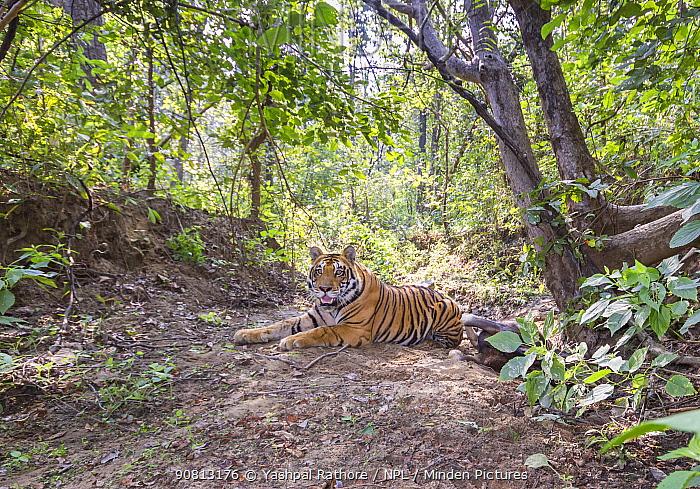 Bengal tiger (Panthera tigris tigris) guarding Gaur (Bos gaurus) calf kill, Kanha National Park, Central India. Camera trap image.