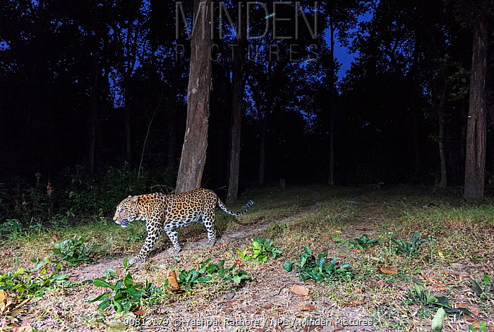 Leopard (Panthera pardus) walking along same path as used by Tigers, however they usually avoid confrontation with them. Kanha National Park, Central India. Camera trap image.
