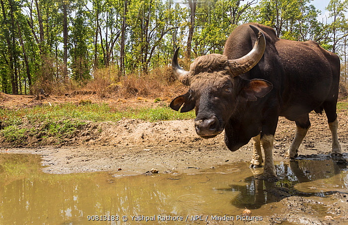 Gaur (Bos gaurus) male drinking water from waterhole, Kanha National Park, Central India. Camera trap image.