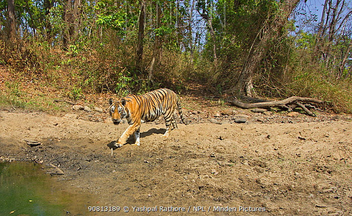 Bengal tiger (Panthera tigris tigris) young female (MV3) looking to establish her own territory after separating from her . Kanha National Park, Central India. Camera trap image.