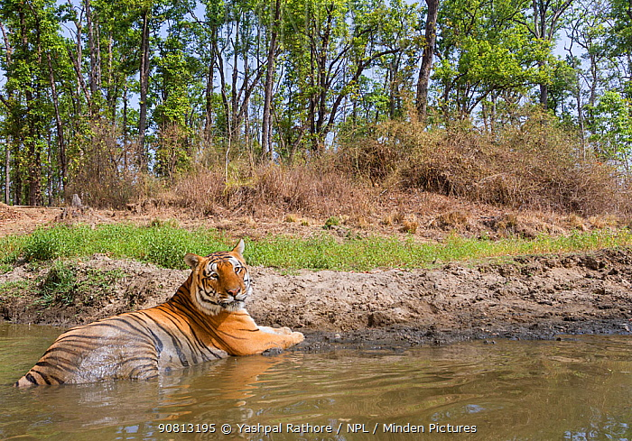 Bengal tiger (Panthera tigris tigris) dominant Male tiger (T30) cooling off in a watering hole. Kanha National Park, Central India. Camera trap image.