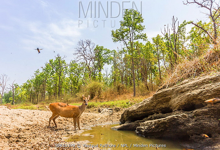 Indian muntjac (Muntiacus muntjak) drinking water from puddle. Kanha National Park, Central India. Camera trap image.