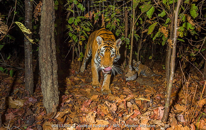 Bengal tiger (Panthera tigris tigris) tigress (T32) feeding on Spotted deer / Chital (Axis axis) killed by her earlier that day while her young cub watches. Kanha National Park, Central India. Camera trap image.