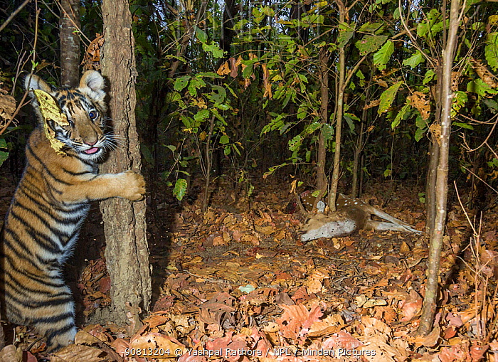 Bengal tiger (Panthera tigris tigris) cub age less than 2 months, climbing tree, playing near Spotted deer / Chital (Axis axis) carcass brought by mother. Kanha National Park, Central India. Camera trap image.