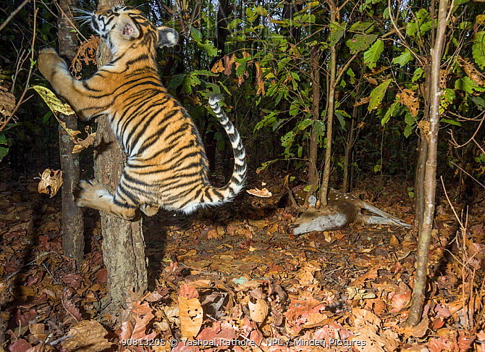 Bengal tiger (Panthera tigris tigris) cub aged less than 2 months, playing near to Spotted deer / Chital (Axis axis) carcass brought by mother. Kanha National Park, Central India. Camera trap image.