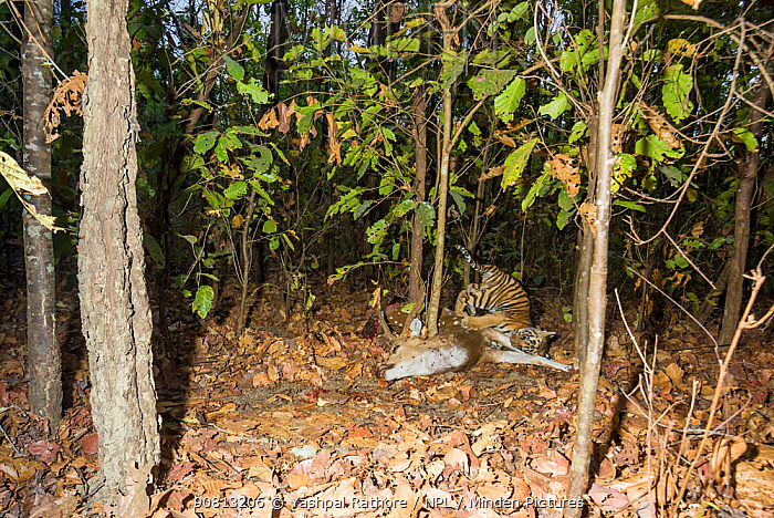 Bengal tiger (Panthera tigris tigris) cub aged less than 2 months, playing near Spotted deer / Chital (Axis axis) carcass brought by mother. Kanha National Park, Central India. Camera trap image.