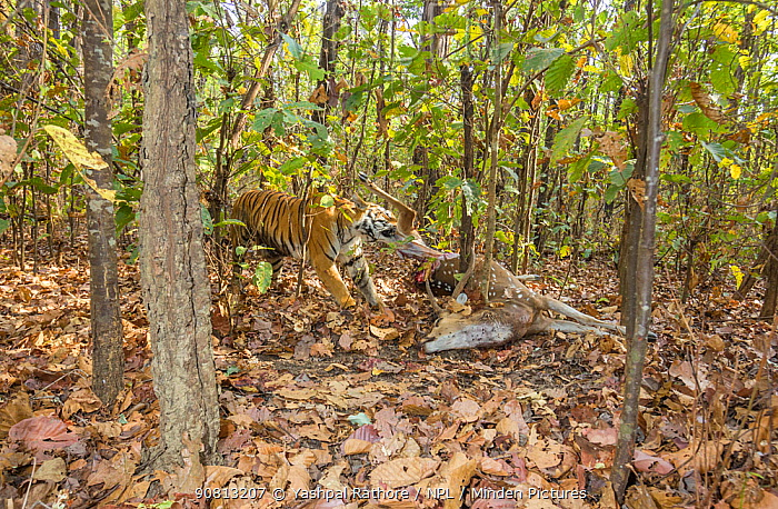Bengal tiger (Panthera tigris tigris) tigress (T32) dragging Spotted deer / Chital (Axis axis) kill into thicket to hide it from predators and scavengers . Kanha National Park, Central India. Camera trap image.