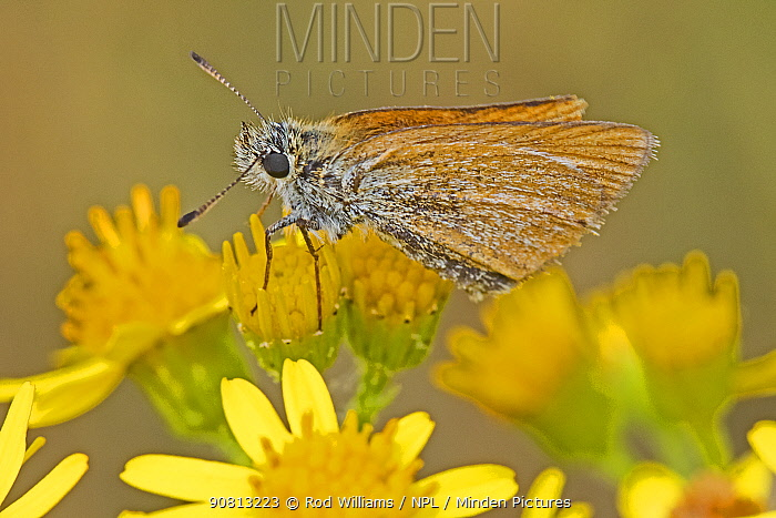 Female Essex skipper butterfly (Thymelicus lineola) on common ragwort, Sutcliffe Park Nature Reserve, Eltham, London, England, July