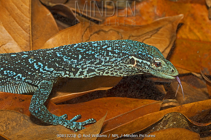 Blue-spotted tree monitor (Varanus macraei), Batanta Island, West Papua, captive