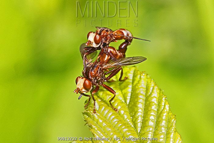 A mating pair of conopid flies (Sicus ferrugineus), New Cross Cutting, Lewisham, England, June