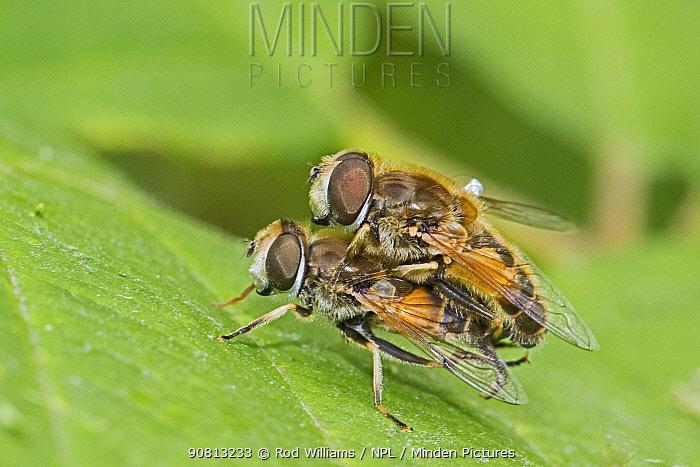 A mating pair of drone flies (Eristalis tenax), Brockley Cemetery, Lewisham, England, June