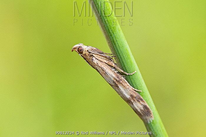 Twin-barred knot-horn (Homoeosoma sinuella), Brockley Cemetery, Lewisham, England, June