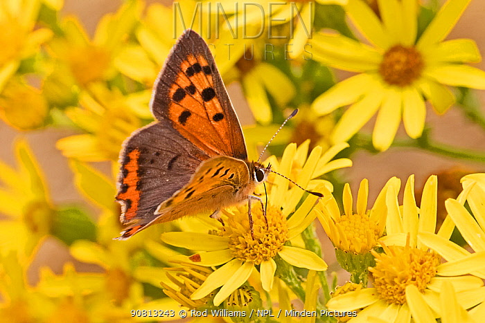 Male small copper butterfly (Lycaena phlaeas), feeding on common ragwort, Sutcliffe Park Nature Reserve, Eltham, London, England, July