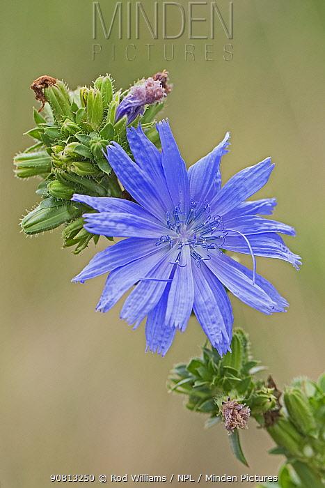 Chicory flower (Cichorium intybus), Sutcliffe Park Nature Reserve, Eltham, London, England, August