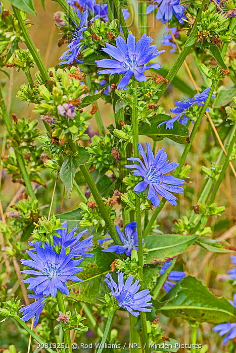 Chicory flowers (Cichorium intybus), Sutcliffe Park Nature Reserve, Eltham, London, England, August