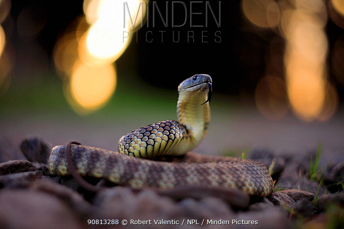 Eastern tiger snake (Notechis scutatus / ater) with bokeh affect, Australia.