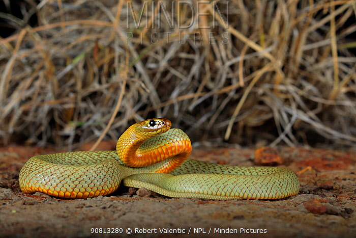 Hatchling female Inland Taipan (Oxyuranus microlepidotus) captive bred, (parents from Goyder's Lagoon in South Australia)..
