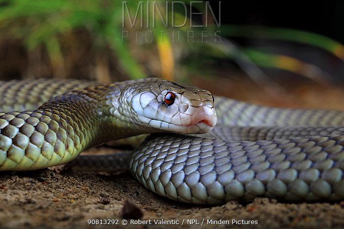 Adult male King Brown Snake (Pseudechis australis) Winton, Queensland, Australia.