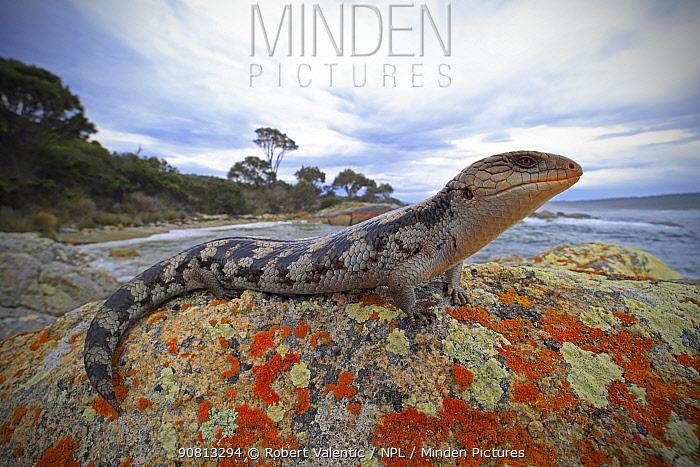 Lowland blotched blue-tongue (Tiliqua nigrolutea) on a coastal bluff in the Bay of Fires region of north-eastern Tasmania, Australia, spring.